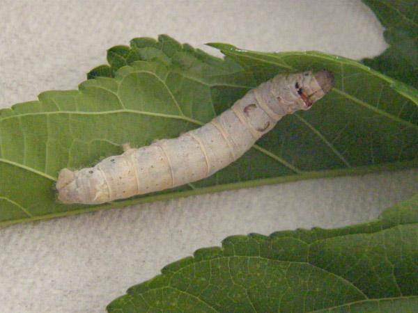 silkworm-on-leaf