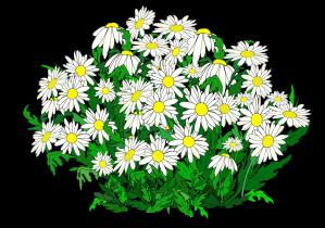 daisy bush 1