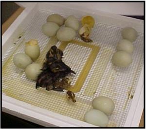 chicks-incubator