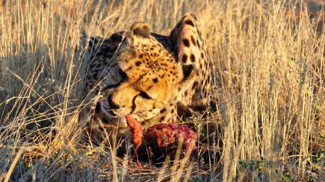 cheetah-snack